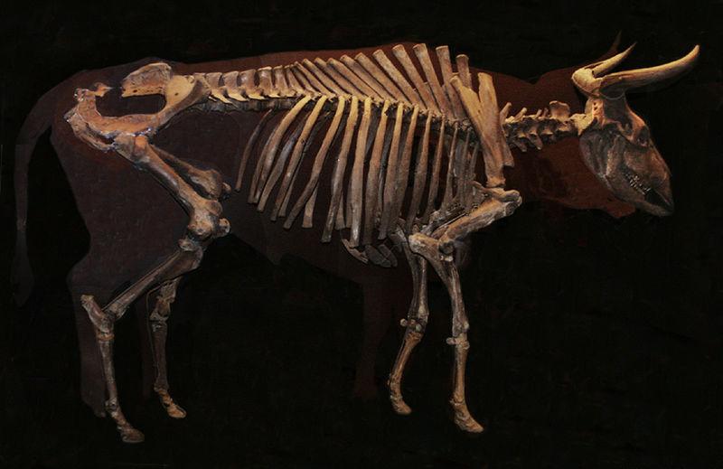 Skelet af urokse